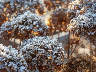 Fond de hotte en verre imprimé Hortensia Frost-covered hortensia flowers