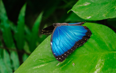 Morpho Peleides butterfly, with open wings, on a green leaf, with jungle vegetation background