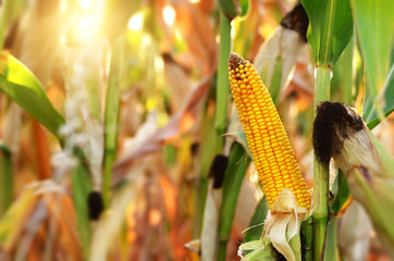 Backlit Ripe Corn of Maize on stalks at the field ready for harvest Wall mural