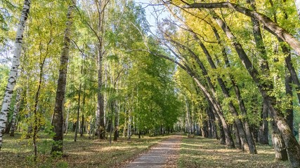 Bottom view from path on crowns of birch trees in autumn forest, Tomsk, Siberia.