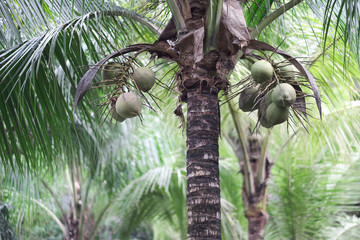 Tall palm trees with long green leaves and clusters of coconuts