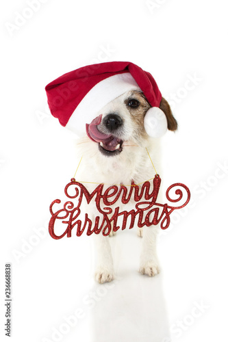02c6a6b81dbf6 CHRISTMAS DOG PORTRAIT. FUNNY JACK RUSSELL WEARING RED SANTA HAT AND A TEXT  SIGN. LOOKING AT CAMERA MAKING A FACE LICKING WITH ITS TONGUE.