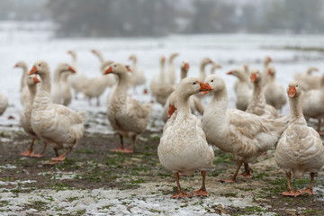 many white geese on a snovy meadow in winter
