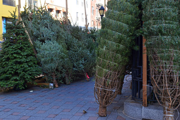 Cut Christmas trees for sale on street in Manhattan New York