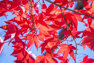 Beautiful red maple leaves in autumn sunny day, blue sky, close up, copy space, macro