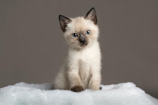 single siamese kitten