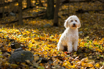 Happy dog sitting in sunshine in the woods covered by leaves
