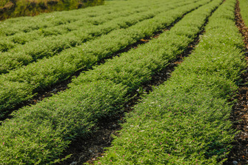 Fresh Green Chickpeas field , Chick peas also known as harbara or harbhara in hindi and Cicer is scientific name,