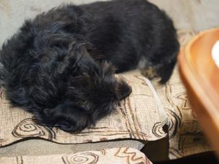 puppy sleeping on the sofa