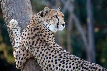 Cheetah on a tree, a portrait