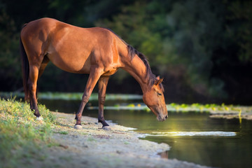 Bay horse drink water in river at sunrise