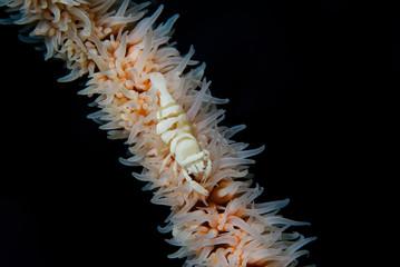 Close-up of a Black Coral Shrimp (Pontonides unciger)