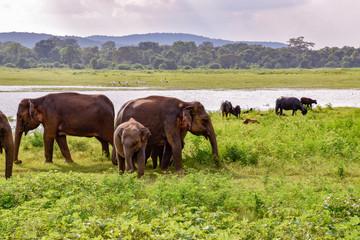 Elefanten im Udawalawe Nationalpark auf Sri Lanka