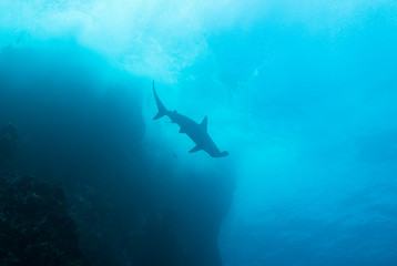 Scalloped hammerhead shark close to the surface along rocks.