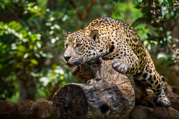 Jaguar on the timber in natural forests.