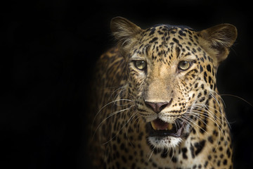 Leopard on a black background.