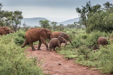 Elefantenherde überqueren Landstraße im Madikwe Game Reserve