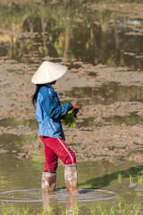 Laos - Reis Aussaat bei Champasak