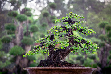 Bonsai trees in pots in the atmosphere is raining.