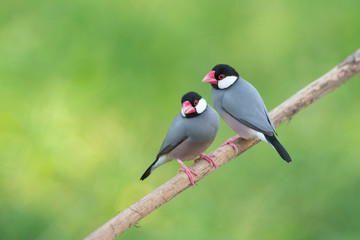 Bird Lovers , Java sparrow or Java finch