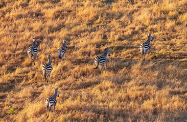 Zebras from aerial view