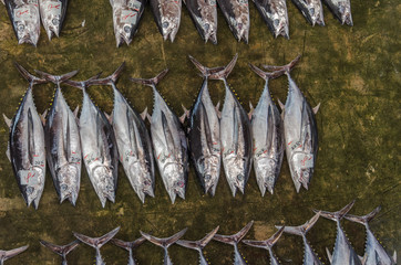 Overhead view on japanese fish market with tuna fish lying on ground, ready to be sold