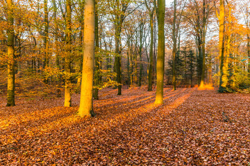 Forest in National Park de Hoge Veluwe in the Netherlands in beautiful golden autumn colours and sunbeams just before sunset during golden hour