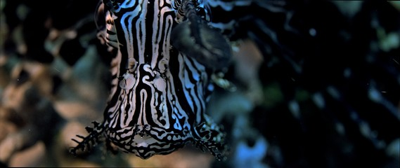 A black lionfish, Pterois volitans, is hiding in a coral reef, facing to the camera, extreme closeup, Raja Ampat, Indonesia