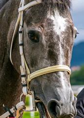 Close-up of gray horse.