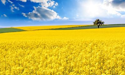 Farben des Frühlings und des Sommers: leuchtend gelbes Rapsfeld unter blauem Himmel mit Sonne :)