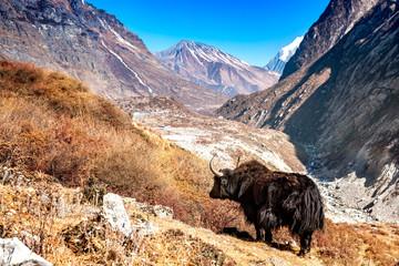 Yak Langtang Valley Nepal