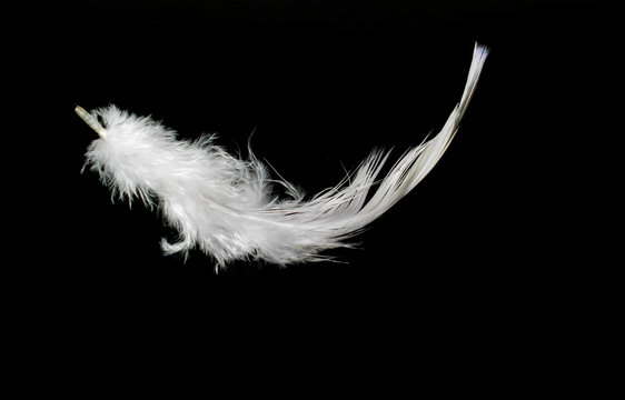 white feather on a black background for design