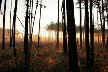 foggy sunrise in forest