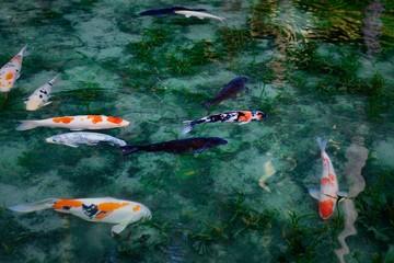 モネの池の魚