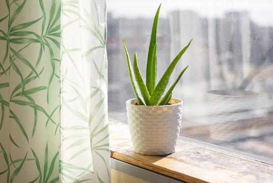 aloe in a pot on the windowsill