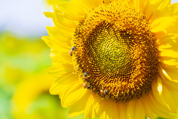 Closeup yellow sunflower with bee in the graden on sunshine day