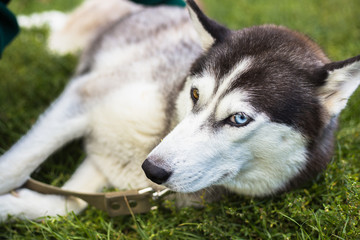 Unusual eye heterochromia. Different eyes have Husky