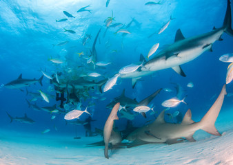 Lemon shark and Caribbean reef sharks at the Bahamas
