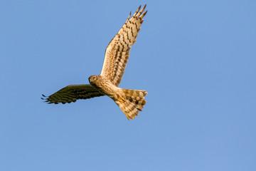 Montagu's Harrier (Circus pygargus).