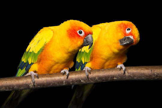 Pair of Sun Conures on a black background