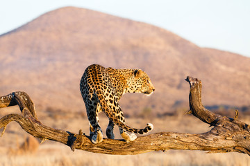 Leopard (Panthera pardus), im Baum
