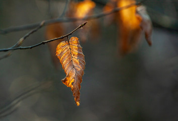 leaf of tree in indian summer colors