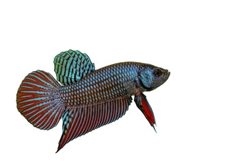 Mahachai betta or Betta mahachaiensis, beautiful Siamese Fighting Fish with white background and clipping path, Thailand.