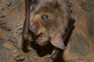 Greater mouse-eared bat with a tick in its fur. A close up picture of a cave animal with a parasite sucking its blood on its back.