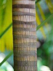 Stamm einer Palme