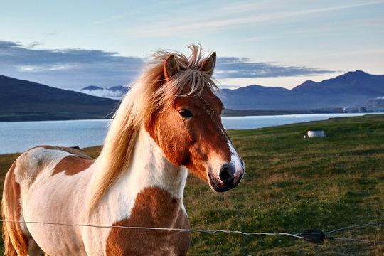 Icelandic horse in the sunset light, portrait