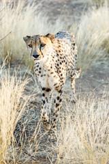 Gepard (Acinonyx jubatus), im hohen Gras, laufend