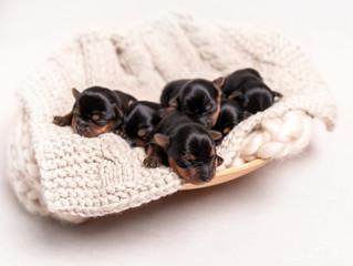 Black york breed puppies sleeping on blanket