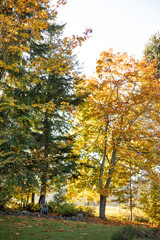 Autumn backyard scene of tall trees with colorful fall leaves