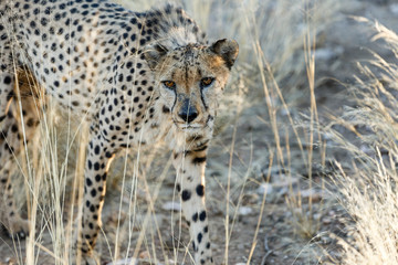 Gepard (Acinonyx jubatus),